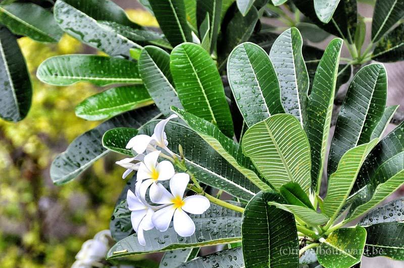 Hilton-BoraBora-flower